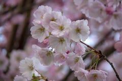 Flores no ramo no fundo obscuro natural durante a florescência da mola Ramifique com flores de sakura Br de florescência da árvor Imagens de Stock