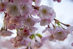 Flores no ramo no fundo obscuro natural durante a florescência da mola Ramifique com flores de sakura Br de florescência da árvor Fotos de Stock Royalty Free