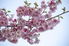 Flores no ramo no fundo obscuro natural durante a florescência da mola Ramifique com flores de sakura Br de florescência da árvor Imagem de Stock Royalty Free