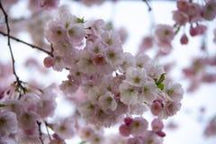 Flores no ramo no fundo obscuro natural durante a florescência da mola Ramifique com flores de sakura Br de florescência da árvor Imagem de Stock