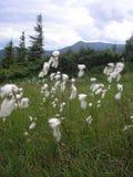 Flores no ucraniano Carpathians das montanhas Imagem de Stock
