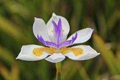 Flores noroestes pacíficas no roxo Fotografia de Stock Royalty Free
