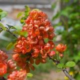 Flores nos ramos do marmelo Fotos de Stock
