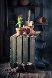 Flores novas da mola e caixa de madeira velha Fotos de Stock