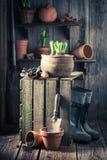 Flores novas da mola e ferramentas de jardinagem velhas Imagens de Stock Royalty Free