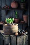 Flores novas da mola e potenciômetros de argila velhos Fotografia de Stock