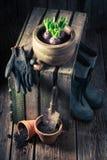 Flores novas da mola e potenciômetros de argila vermelha velhos Foto de Stock Royalty Free