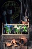Flores novas da mola e solo escuro fértil Foto de Stock Royalty Free