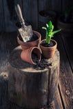 Flores novas da mola na casa de campo rústica Imagens de Stock Royalty Free