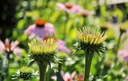 Flores novas no jardim ensolarado Imagens de Stock