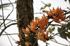 Flores o monosperma anaranjadas del Butea en árbol en el jardín fotos de archivo libres de regalías