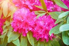 Flores o nerium rosadas florecientes del adelfa en jardín Primavera del flor fotos de archivo libres de regalías