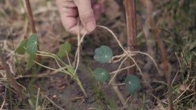 Flores obligatorias s de la mujer del jardinero de la mano al palillo después de plantar en cierre de la tierra para arriba almacen de video
