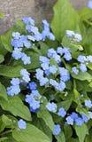Flores observadas azul de Maria Fotos de archivo libres de regalías