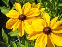 Flores observadas negro del hirta del Rudbeckia de susan Fotos de archivo libres de regalías