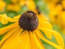 Flores observadas negro del hirta del Rudbeckia de susan Fotos de archivo