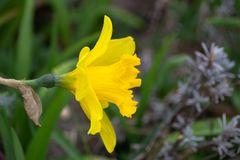 flores orientais da primavera Fotos de Stock Royalty Free