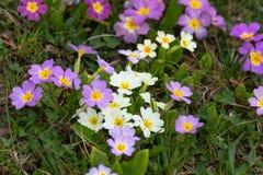 flores orientais da primavera Imagem de Stock Royalty Free