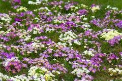 flores orientais da primavera Foto de Stock