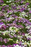 flores orientais da primavera Fotografia de Stock Royalty Free