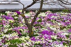 flores orientais da primavera Fotografia de Stock