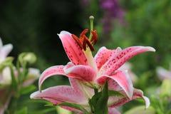 Flores orientales del lirio Imagen de archivo