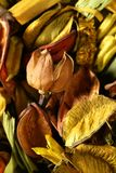 Flores orientales naturales secadas, amarillo-naranja Fotos de archivo libres de regalías