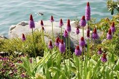 Flores originales hermosas de la lila de la prímula por el lago foto de archivo