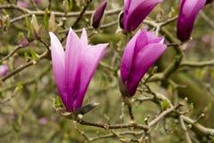 Flores oscuras del ` de Ana del ` de la magnolia Fotos de archivo