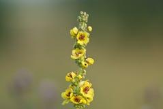 Flores oscuras del mullein Fotos de archivo