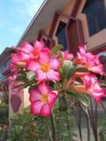 flores ou azálea do adenium Fotos de Stock