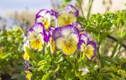 Flores púrpura-amarillo-blancas del pensamiento del jardín hermoso del género viola fotografía de archivo libre de regalías