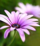 Flores púrpuras Fotografía de archivo