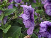 Flores púrpuras Foto de archivo libre de regalías