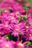 Flores púrpuras Fotografía de archivo libre de regalías