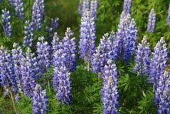 Flores púrpuras altas imagen de archivo