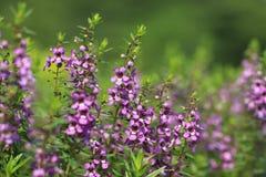 flores púrpuras, Angelonia, Angel Flower Fotos de archivo