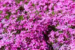 Flores púrpuras brillantes en abundancia fotografía de archivo libre de regalías