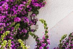 Flores púrpuras coloridas de la buganvilla aisladas contra la pared blanca foto de archivo