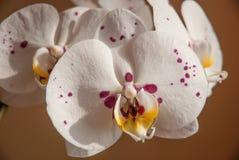 Flores púrpuras coloridas de la orquídea Fotos de archivo libres de regalías