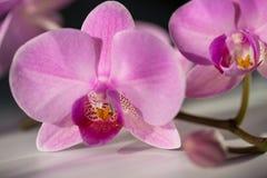 Flores púrpuras coloridas de la orquídea Spa Foto de archivo