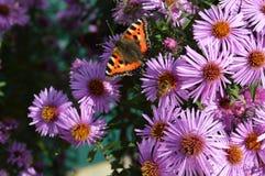 Flores púrpuras con la mariposa Foto de archivo libre de regalías