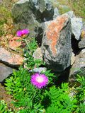 Flores púrpuras con las hojas verdes y las piedras grises grandes Imagen de archivo libre de regalías