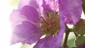 Flores púrpuras con luz del sol, el orgullo de la India o la flor de la reina metrajes