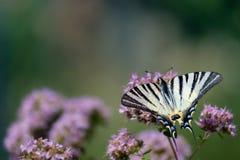 Flores púrpuras con una mariposa Imagen de archivo libre de regalías