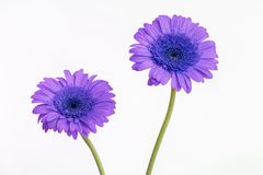 Flores púrpuras de Gerber con los troncos del verde largo Foto de archivo