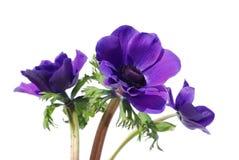 Flores púrpuras de la anémona Imagen de archivo libre de regalías