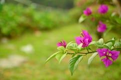 Flores púrpuras de la buganvilla Fotografía de archivo