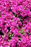 Flores púrpuras de la buganvilla Foto de archivo