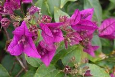 Flores púrpuras de la buganvilla Fotos de archivo